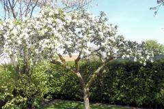 Appelbloesem boomgaard
